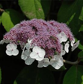 Hydrangea aspera